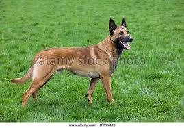 belgian shepherd dog malinois belgian shepherd malinois stock photos u0026 belgian shepherd malinois