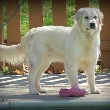 Comfort Retrievers English Golden Retrievers Puppies For Sale