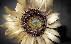 Dry Flowers Dry Flower Sunflower Petals Photo 6943895