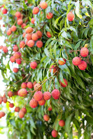lychee fruit ripe lychee fruit on tree in the plantation in ampawa thailand