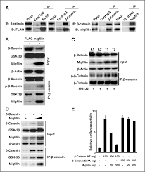 Anti Flag Antibody Migfilin Regulates Esophageal Cancer Cell Motility Through