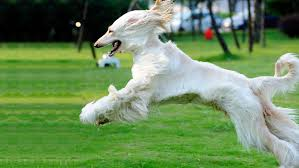 afghan hound least intelligent the least obedient dog breeds for dog owners looking for a