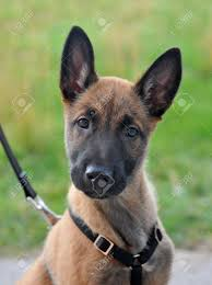 belgian sheepdog breeds portrait of a young puppy purebred belgian shepherd malinois