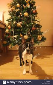 boston terrier christmas stock photo royalty free image 90884970