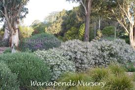 australian native screening plants popular hedging plants native plant and revegetation specialists