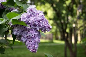 lilac flowers reasons for lilac flowers that no smell