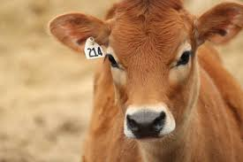 15 things you should know about jersey cattle thatsfarming com