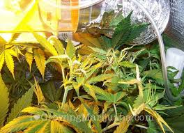 Best 25 Marijuana Grow Lights by The Best Temperature For Marijuana Plants