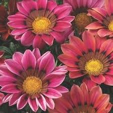 59 best annuals images on pinterest annual flowers flower seeds