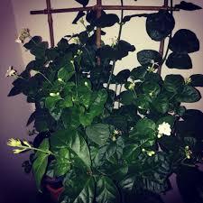 arabian jasmine plant with a diy bamboo trellis so easy to do
