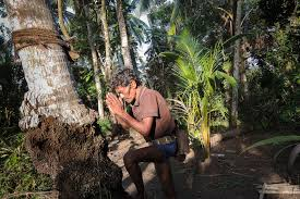 toddy tapping a traditional sri lankan job faces extinction