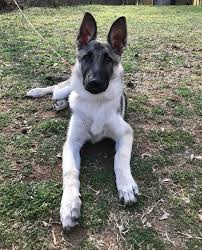 belgian malinois size at 6 months german shepherd puppy silver and black at 4 months gsd