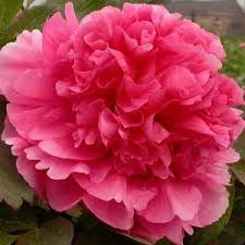 Peonies For Sale Peony Hu Hong Online Chinese Tree Peonies For Sale Cheap Tree