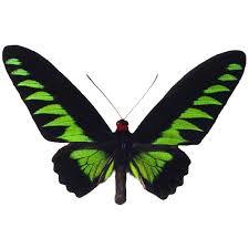 trogonoptera brookiana butterfly designs framed butterflies