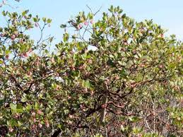 manzanita trees manzanita tree manzanita wood manzanita branches an