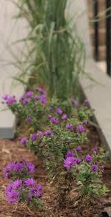 chesapeake bay native plants about u2014 aldertree garden