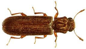 Powder Post Beetles In Hardwood Floors - wood preservation wood destroying organisms kentucky pesticide