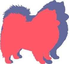 american eskimo dog energy level american eskimo dog breed health history appearance