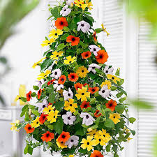 aliexpress com buy marseed 20 pcs lot thunbergia alata flower