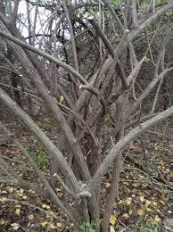 missouri native plant society missouri invasive plant case study sites u2013 missouri invasive plant
