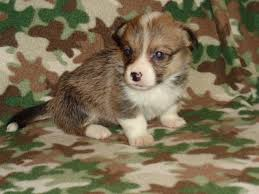 australian shepherd new hampshire all u0027s fair mini aussies home facebook