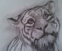 photos easy tiger sketches pencil drawing art gallery
