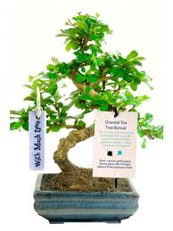 bonsai trees meaning devotion
