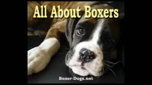 boxer dog health questions all about your pet boxer boxer dogs diets training breeding youtube