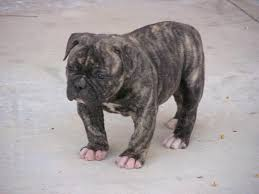 american pitbull terrier for sale in dallas texas pitbull bulldog mix puppies for sale zoe fans blog cute baby