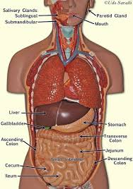 Abdominal Anatomy Quiz Human Torso Model Learning The Basic Knowledge My Lights