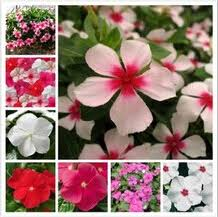 50pcs lot rose red color madagascar periwinkle seeds catharanthus