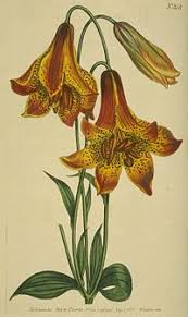 Lily Plant Lily Simple English Wikipedia The Free Encyclopedia
