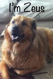 Seeking Zeus Handsome Golden Retriever Mix Seeking Loving Family My Kid Has Paws