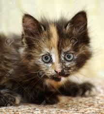 beautiful kitten stock photo picture and royalty free image