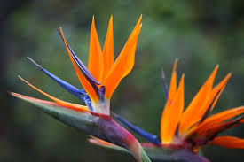 bird of paradise flower about birds of paradise hunker