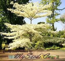 wedding cake tree dogwood cornus controversa tree seeds aka wedding cake