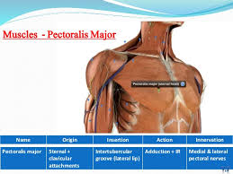 Muscle Anatomy Of Shoulder Anatomy Of Shoulder Joint