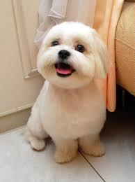 bichon frise long hair bichon frise cut styles bing images dog styles pinterest