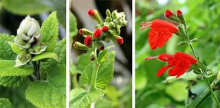 salvia flower scarlet salvia coccinea master gardener program