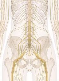 Nerve Map Nerves Of The Abdomen Lower Back And Pelvis