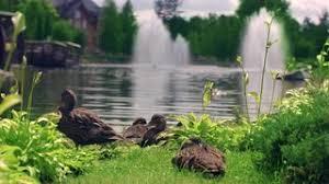 Villa Park Landscape by City Park Landscape Design Duck Family On Lake With Water