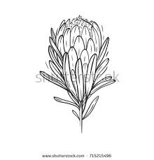 protea stock images royalty free images u0026 vectors shutterstock