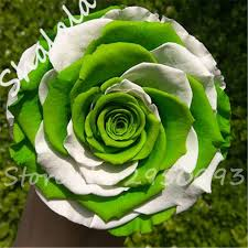 white roses for sale hot sale color green and white roses seeds bonsai seeds