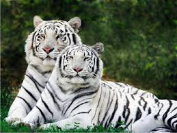 white siberian tiger images all white