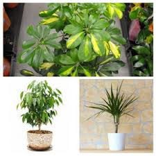 wondrous house plants trees tropical easy to grow indoor and