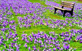 purple spring flowers wallpaper hd desktop wallpapers high