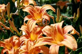 tiger lillies free tiger lillies stock photo freeimages