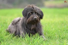 how to groom a belgian sheepdog catalan sheepdog dog breed information buying advice photos and