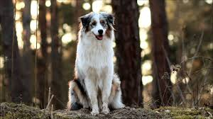 1 australian shepherd australian shepherd beautiful funny 1 year youtube