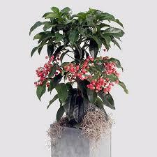 plants u0026 flowers christmas berry